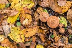 Een handvol van mellea van paddestoelenarmillaria, aarde is behandeld met bladeren, de herfst Stock Afbeeldingen