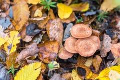 Een handvol van mellea van paddestoelenarmillaria, aarde is behandeld met bladeren, de herfst Stock Fotografie