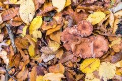 Een handvol van mellea van paddestoelenarmillaria, aarde is behandeld met bladeren, de herfst Stock Foto's