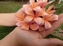 Een handvol van roze en oranje frangipani bloeit stock afbeelding