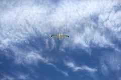 Een Haringenmeeuw tijdens de vlucht tegen een blauwe hemel Stock Afbeelding