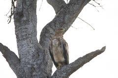 Een havik landde enkel hevig op een tak van boom in Afrika stock foto's