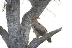 Een havik landde enkel hevig op een tak van boom in Afrika stock afbeelding