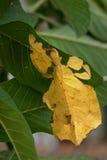 Een helder geel exotisch tropisch insect Phasmatodea in het gebladerte van installaties, onder de vorm waarvan de bidsprinkhanenn Stock Foto