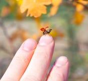 Een helder rood lieveheersbeestje Stock Foto