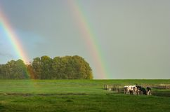 Een heldere dubbele regenboog met koeien in het platteland van Holland stock foto's