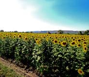 Een heldere mooie scène van een zonnebloemlandbouwgrond Royalty-vrije Stock Foto
