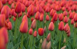 Een heldere rode achtergrond van de tulpenbloem Macrobokehschot Stock Afbeeldingen