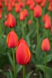 Een heldere rode achtergrond van de tulpenbloem Macrobokehschot Stock Fotografie