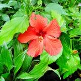 Een heldere rode bloem van Hibiscusrosa sinensis royalty-vrije stock foto