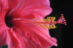 Een heldere roze bloem met meeldraad en stuifmeel stock fotografie