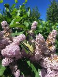Een heldere vlinder vliegt over een lilac struik stock foto's