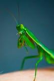 Een heldergroene bidsprinkhaan Stock Foto's