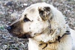 Een herdershond, een herdershond die de schapen tegen de wolf Vermoeide hond van de hondherder beschermt, die herdershond rusten stock fotografie