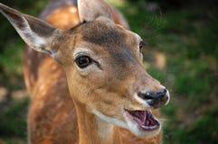 Een hert Royalty-vrije Stock Afbeeldingen