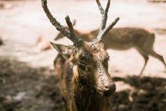 Een hert royalty-vrije stock afbeelding