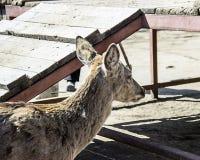 Een hert in de dierentuin royalty-vrije stock foto