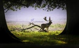 Een hert in de ochtendmist Stock Foto