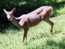 Een hert die op een gebied weiden Stock Foto