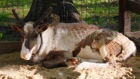 Een hert in een dierentuin, die in de schaduw ontspannen stock video