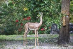 Een hert eet blad royalty-vrije stock afbeeldingen