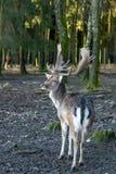 Een hert in het hout stock foto