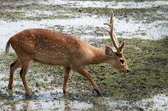 Een hert in het modderland van Afrika royalty-vrije stock foto's