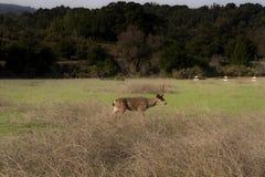 Een hert in het park royalty-vrije stock foto's