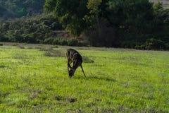 Een hert in het park stock afbeeldingen