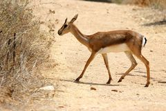 Een hert kruist de weg in hertenpark royalty-vrije stock foto