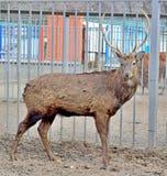 Een hert met hoornen is in de pen achter de bars van de dierentuin royalty-vrije stock fotografie
