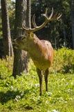Een hert in een opheldering royalty-vrije stock afbeeldingen