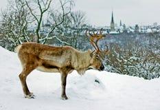 Een hert in Skansen-Park in Stockholm Royalty-vrije Stock Afbeelding