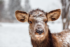 Een hert tijdens sneeuwval Royalty-vrije Stock Fotografie