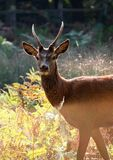 Een hert van de Herfst in het Park van Richmond Stock Fotografie
