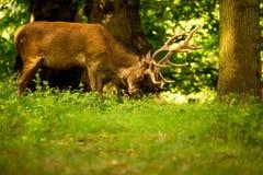 Een hert voedt in het bos Stock Afbeelding