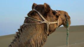 Een het berijden kameel in de woestijn stock videobeelden