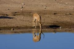 Een het drinken gazelle Royalty-vrije Stock Afbeeldingen