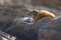 Een het fluiten rat bezet een zonnige vlek in de winter in het rotsachtige Grensoverschrijdende Park van Richtersveld royalty-vrije stock foto