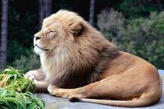 Een het Glimlachen Leeuw Royalty-vrije Stock Foto's