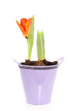 Een het groeien oranje tulp Royalty-vrije Stock Afbeeldingen