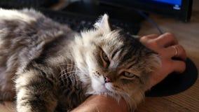 Een het houden van kat ligt zorgvuldig in de handen van de man op de Desktop, valt in slaap en let op de camera HD, 1920x1080 stock video
