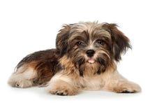 Een het leggen mooie het glimlachen donkere hond van het chocolade havanese puppy Royalty-vrije Stock Afbeelding