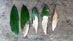 Een het levenscyclus van een acaciablad tegen een rustieke achtergrond Royalty-vrije Stock Fotografie