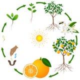Een het levenscyclus van een oranje boom op een witte achtergrond stock illustratie