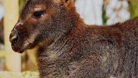 Een het liggen wallaby krast zijn neus stock videobeelden