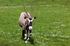 Een het Lopen Gemsbok Antilope stock foto