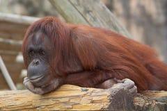 Een het Nadenken Orangoetan Royalty-vrije Stock Foto's
