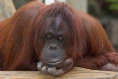 Een het Nadenken Orangoetan Stock Foto's