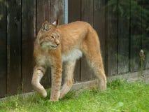 Een het noorden Europese lynx. stock afbeeldingen